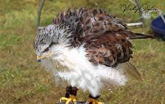 Falcon fluffing itself out. (vickyouten) Tags: falcon birdsofprey birdofprey nature wildlife wildwings canon canon1300d vickyouten