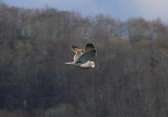 p1490055 (claudiopoli) Tags: animali animalia chordata aves strigiformes strigidae asio flammeus gufodipalude autouploadfilenamep1490055jpg