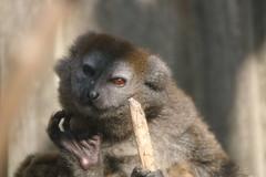 Alaotra Gentle Lemur (charliejb) Tags: bristolzoo bristolzoogardens 2018 wildlife conservation bristol alaotragentlelemur gentlelemur lemur primate mammal