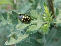 Zygogramma signatipennis (Stål, 1859) (carlos mancilla) Tags: insectos escarabajos beetles zygogrammasignatipennisstål1859 zygogrammasignatipennis catarinaverde chrysomelidae chrysomelinae olympussp570uz