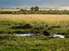 Golden late afternoon light.Buffalo's evening bath. (odileva) Tags: buffalo june kenia masaimaranp nature transmara riftvalleyprovince kenya ke