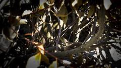 Lagarto Ocelado (toninhodacantina) Tags: reptil lagarto naturaleza catoira galicia españa spain olympusomdem1 panasoniclumixgvario1235f28 microfourthirds m43