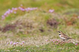 ©Alouette haussecol, Eremophila alpestris, Horned Lark