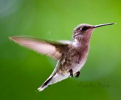 Hummingbird - Explored Sept.8, 2018 (Sandra Mahle) Tags: hummingbird nature wildlife flight explore bird birding canon canonphotography