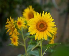 ayçiçeği / günebakan