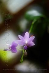 X01T2063 (kingston Tam) Tags: painterlyfeel helios442 258 orchid ornamentals flowers fujifilmxt1 manuallens colors oldlens bokeh brightcolors m42 watercolorpainting
