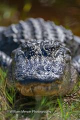 Playing chicken (WilliamMercerPhotography) Tags: americanalligatoralligatormississippiensis alligator gator nature nikon wild wildlife predator reptile