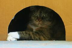Gracie 25 July 2018 0346Ri 4x6 (edgarandron - Busy!) Tags: cat cats kitty kitties tabby tabbies cute feline gracie patchedtabby