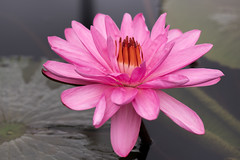 Large Pink Water Lily (billcoo) Tags: 6d2 6dii 2 pond bokeh
