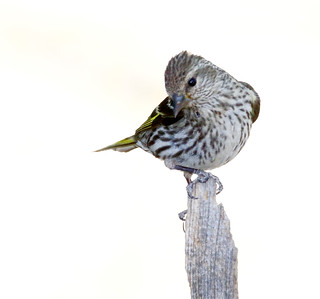 Pine Siskin (Carduelis pinus); Santa Fe National Forest, NM, Thompson Ridge [Lou Feltz]