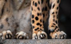 Unique Feline (Amazing Aperture Photography) Tags: animal nature wild wildlife cat bigcat feline carnivore predator fur feet legs claws spots mammal beautiful endangered nikon nikond800 tamron