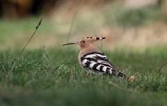 Hoopoe...........Upupa epops (gus guthrie1) Tags: hoopoe cromarty highland plumage feather rarity rare scotland orange black ngc