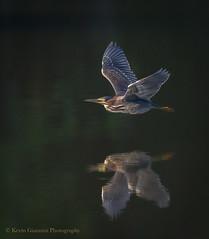 Green Heron (Kevin James54) Tags: butoridesvirescens greenheron lakegalena nikond850 peacevalleypark tamron150600mm animals avian bird heron kevingianniniphotocom