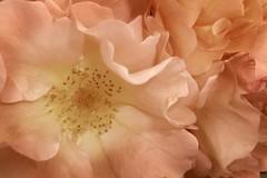 Rose (HerbertWagner) Tags: rose zart rosa pflanze blume blüte blüten vegetation garten schön