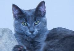 Twilight (Ellsasha) Tags: feral domesticated socialized cat cats feline felines rescue gray grey