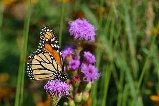 Panasonic FZ1000, Monarch Butterfly, Botanical Gardens, Montréal, 19 August 2018 (7)