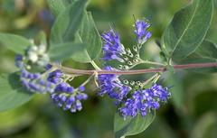 Bartblume / bluebeard (Caryopteris x clandaensis) (HEN-Magonza) Tags: botanischergartenmainz mainzbotanicalgardens rheinlandpfalz rhinelandpalatinate deutschland germany bartblume bluebeard bluespirea caryopterisxclandaensis