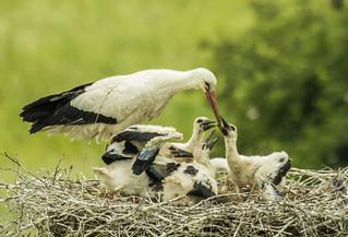 Earrebarre / Ooievaar / Stork