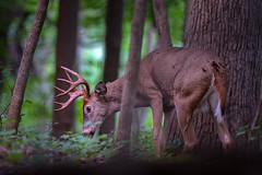 Wart43 (jmishefske) Tags: 2018 d850 antler buck parkway rack wisconsin greenfield wildlife whitetail rootriver deer september nikon