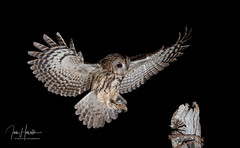 Tawny Owl (Ian howells wildlife photography) Tags: owl tawnyowl flash inflight ianhowells ianhowellswildlifephotography nature naturephotography nationalgeographic night canon canonuk wildlife wildlifephotography wales wild wildbird wildbirds