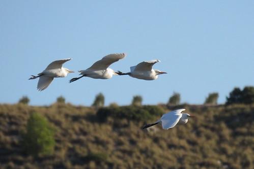 69 - GARCILLAS BUEYERAS (Bubulcus ibis) - JUAN LUIS REDAJO