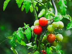 2018:09:12 17:33:23 - Garden Tomatoes Bokeh - Tarbek - Schleswig-Holstein - Germany (torstenbehrens) Tags: garden tomatoes bokeh tarbek schleswigholstein germany panasonic dmcg1 20180912 173323