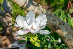 Magnolia (musette thierry) Tags: fleurs fleur fleuraison fleurie reflex musette thierry d800 28300mm nikkor blanc photo photographie eut