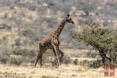 Maasai Giraffe (DragonSpeed) Tags: 28thkitsilanoscoutgroup 28thvancouverscoutgroup giraffacamelopardalistippelskirchi maasaigiraffe masaigiraffe ngorongoroconservationarea scouts scoutscanada tanzania tanzaniaexpedition2018 venturerscouts venturers browsing mammal arusharegion tz