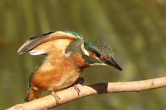 Kingy (hedgehoggarden1) Tags: kingfisher birds wildlife nature sonycybershot branch lackfordlakes suffolk eastanglia uk feathers plumage rspb suffolkwildlifetrust sony creature