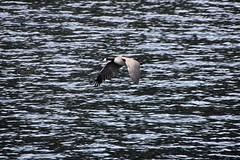 146. Canadian Goose (brottj316) Tags: laketahoe msdixieii emeraldbay canadiangoose