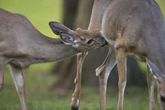 Button Buck still nursing (Mawrter) Tags: buttonbuck youngbuck buck nurse nursing parent parenting fawn doe deer whitetaildeer nature wild wildlife canon animal outdoors afternoon nj newjersey button specanimal