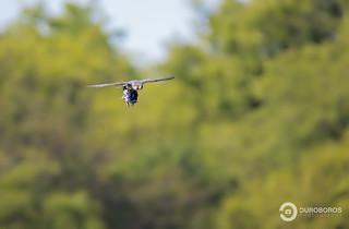 Peregrine Falcon (Falco peregrinus) - RECORD SHOT