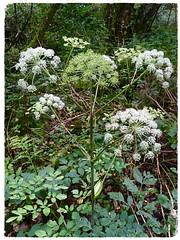 Wild Angelica (Julie (thanks for 9 million views)) Tags: umbellifer huw wildangelica angelicasylvestris iphonese tinternwoods green wildflowers 100flowers2018 wexford ireland irish flora native woodland forest