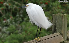 Desperado (Shannon Rose O'Shea) Tags: shannonroseoshea shannonosheawildlifephotography shannonoshea shannon snowyegret egret bird beak feathers wings skinnylegs yelloweye yellowfeet fence fencepost white bokeh leaves green egrettathula alligatorbreedingmarshandwadingbirdrookery gatorland orlando florida gatorlandbirdrookery rookery nature wildlife waterfowl wild wildlifephotography wildlifephotographer wildlifephotograph art photo photography photograph colorful outdoors outdoor fauna flickr wwwflickrcomphotosshannonroseoshea camera canoneos80d canon80d canon eos80d 80d canon100400mm14556lisiiusm femalephotographer girlphotographer womanphotographer shootlikeagirl shootwithacamera throughherlens tailfeathers