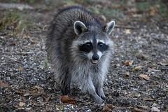 140A0564 (Ricky Floyd) Tags: raccoon canon