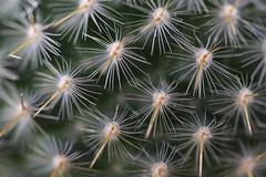 IMG_0218 Cactus (Fernando Sa Rapita) Tags: mallorca sarapita canon canoneos eos1300d sigma sigmalens cactus plant planta macro espinas