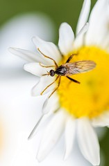 Fly (Karen_Chappell) Tags: fly flower daisy macro yellow white brown insect canonef100mmf28usmmacro floral nature closeup botanicalgarden stjohns newfoundland canada nfld avalonpeninsula atlanticcanada bokeh