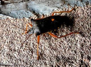 Red-legged Shieldbug 21.8.18