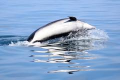 Dolphin body twist... (karen leah) Tags: dolphin bottlenose mammal marine action sea water animal wildlife outdoors nature cardiganbay ceredigion august summer entertaining blue