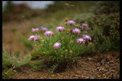 Centaurea (listera_ovata) Tags: flower flora floraofturkey flowerphotography closeup rokkor58mmf12 sonya7ii çiçek erzurum mountain macro makro