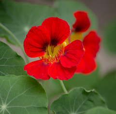 Nasturtiums (mahar15) Tags: plant red nasturtium flowers nature macro outdoors flower bloom summer redflower rednasturtium