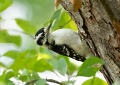 Downy Woodpecker (Laura Erickson) Tags: downywoodpecker stlouiscounty picidae piciformes birds peabodystreet duluth species places minnesota picoidespubescens
