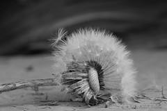 dandelion in b&w (LavenderMillie) Tags: dandelion lavendermillie2018 wildflower blackandwhite bw alberta herb definingbeauty macromonday