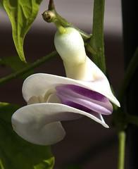 Anglų lietuvių žodynas. Žodis snail flower reiškia sraigė gėlių lietuviškai.