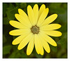 Fresh yellow petals (Graham Pym On/Off) Tags: yellow nikon petals floral awesomeblossoms
