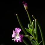 Fleur de Forêt thumbnail
