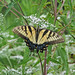 Tiger swallowtail in fresh Fall wildflowers