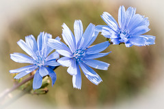 Wild Blue Flower (Jez22) Tags: blue wild flower copyright jeremysage chicory plant bloom floral nature flora herb natural beautiful cichorium succory intybus color closeup blooming bright azure kent england cichoriumintybus