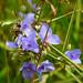 Uncertain - Ohio Spiderwort