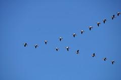 Leaving already!? (kong niffe) Tags: hover flickrfriday blue migration autumn høst gjess fugletrekk trekk geese son